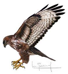 Bald Eagle, Bird, Animals, Illustrations, Drawings, Animales, Animaux, Birds, Animal
