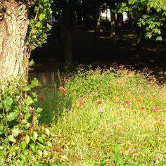 Poppies in Gyoda Park, Nishi Funabashi