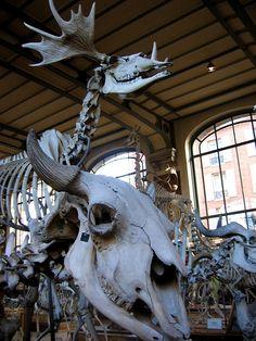 Horned Skeletons: Les Galeries de Paléontologie et d'Anatomie comparée by cosmicautumn