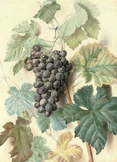 James Sillet. White Sweetwater and Black Prince or Alicant Grapes. Late 18th - early 19th century