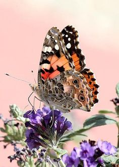 Painted Lady by Lilly Green