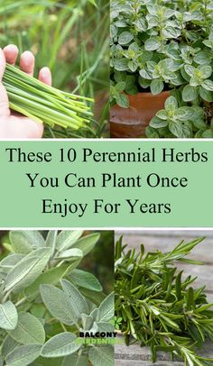 Planning to add more plants to your beautiful yard? Then, Perennials are the excellent herbs to keep your supply of fresh herbs without spending tons of money and help you to cultivate new plants every season. Long Blooming Perennials, Hardy Perennials, Flowers Perennials, Diy Herb Garden, Fruit Garden, Edible Garden, Herbs Garden, Vegetable Garden, Herbs Indoors