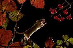 mice (by Jean-Louis Klein & Marie-Luce Hubert)