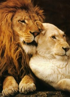 Hah! This > Whispering sweet nothings in her ear - NOT. He is probably saying: When are you going hunting, I'm hungry. lion