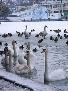 Balaton, Hungary#swans Budapest, Hungarian Food, Mediterranean Sea, Atlantic Ocean, Swans, Nature Pictures, Continents, Countryside, Gypsy