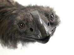 Object: Coastal Moa, Euryapteryx curtus | Collections Online - Museum of New Zealand Te Papa Tongarewa