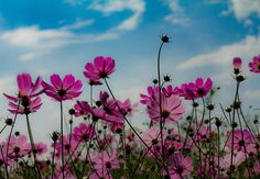 #cosmos #autumn #autumngram #flowers #ig_flowers #コスモス #秋桜