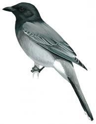 Black-headed Cuckoo-shrike (Coracina melanoptera)