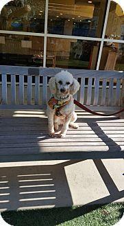 San Diego, CA - Poodle (Miniature). Meet Cloud, a dog for adoption. http://www.adoptapet.com/pet/17504900-san-diego-california-poodle-miniature