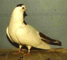 Ural Striped Maned Pigeon