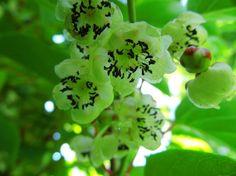 Kiwiblüte im Juni Kiwi, Fruit, Plants, Plant, Planets
