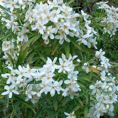Evergreen Bush, Evergreen Shrubs, Balcony Garden, Garden Plants, Belleza Natural, Drought Tolerant, Garden Inspiration, Garden Ideas, Garden Planning