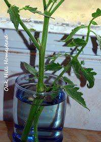 Oak Hill Homestead: Perennial Tomatoes
