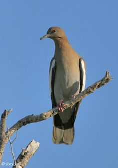 The White-winged Dove - Zenaida asiatica , is a dove whose native range extends from south-western USA through Mexico, Central America, and the Caribbean .