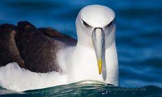 Albatros Molly Mawk, New Zealand Kaikoura,