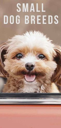 Small Dog Breeds: Which Little Puppy Will You Bring Home? Small Dog Breeds: Which Little Puppy Will You Bring Home? Cutest Small Dog Breeds, Cute Small Dogs, Cute Puppy Breeds, Small Puppies, Cute Puppies, Dogs And Puppies, Small Small, Toy Dog Breeds, Baby Dogs