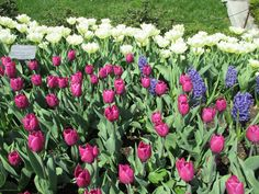https://flic.kr/p/sf65ri | Tulips | Tulips in bloom in the Annual Border. Photo by Sarah Schmidt.