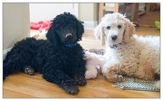 3-month old Standard Poodle puppies!