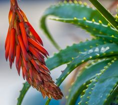 Red Cactus Flower by Eleni Mac Synodinos on 500px