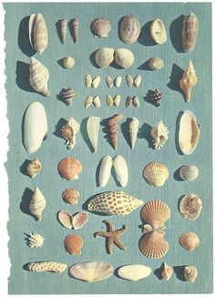 Seashells.  They look like the ones I've found on the Gulf of Mexico in Florida.♡♡♡♡  There is even a precious Junonia.