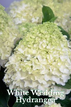 Sturdy, upright branches support large, pillow-like, white blooms. This beauty dazzles as a cut flower or in the garden from accent to mass planting.  #hydrangeas #summerblooms #southernliving Hydrangea Garden, Hydrangeas, Landscape Design, Garden Design, Foundation Planting, Gardenias, Southern Living, Cut Flowers, Garden Planning