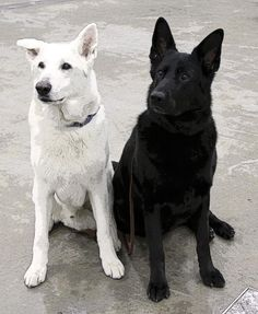 Black and White #German #Shepherd #dogs