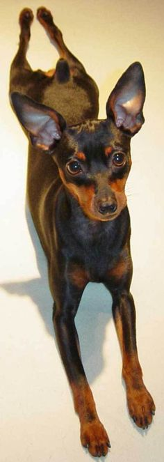Miniature Pinscher dog art portraits, photographs, information and just plain fun. Also see how artist Kline draws his dog art from only words at drawDOGS.com #drawDOGS http://drawdogs.com/product/dog-art/miniature-pinscher-dog-portrait-by-stephen-kline/ He also can add your dog's name into the lithograph.