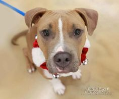 Name:  Junior  Pit Bull Terrier / Mixed  Male :: Young  Status:	Available for Adoption  Location:	Alexandria, VA  Additional Info:  Good with Dogs  Good with Children  Housebroken