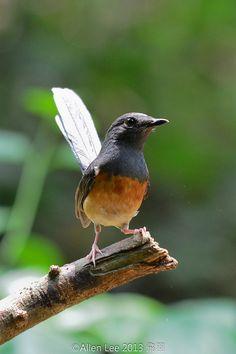 Oriental Magpie-Robin白腰鵲鴝 | by Allen Lee(houpc)