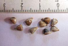 Bamboo Seeds, Pearl Earrings, Pearls, Google, Jewelry, Pearl Studs, Jewlery, Jewerly, Beads
