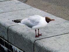 Brown-headed Gull (Chroicocephalus brunnicephalus) by Jim Linwood.