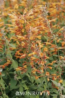 Apricot Sprite Hyssop - Highly attractive to hummingbirds, with aromatic foliage that resists grazing by deer and rabbits, this showy, water-wise perennial is perfect for rock gardens and open meadows. Loose spikes of fragrant, tubular apricot colored flowers on a dwarf form make it useful for mixed borders and containers.