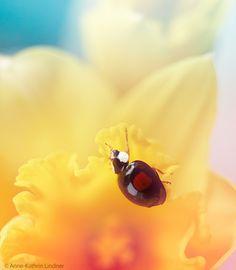 Marienkäfer auf Narzisse,  Blume, Botanik, coloured, dekorativ, draußen,  Frische, Frühling, hell, Insekt, Käfer, leaf, strahlend, sunlight, wiese