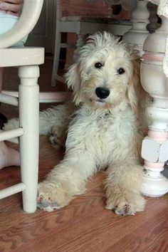 Golden Doodle??  Labra Doodle?  How do you tell them apart? I don't care, I just want one.