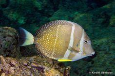 white spotted surgeon fish -- acanthurus-guttatus