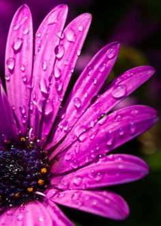 Pink daisy with water droplets. Pink daisy with water droplets. Cute Backgrounds, Cute Wallpapers, Wallpaper Backgrounds, Screen Wallpaper, Flower Art Images, Flower Photos, Purple Love, Purple Flowers, Rose Flowers