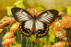 Female Papilio aegeus ormenus butterfly