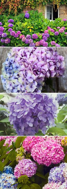 The soil that hydrangeas grow in influences the colour they will be.