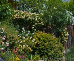 """A corner of my front yard, with all the top of the fence claimed by Buff Beauty with  Secret Garden Musk Climber behind it. Heritage is below Buff Beauty with Lady Hillingdon and Sophies Perpetual in front. Carding Mill is peeking in at far left."""