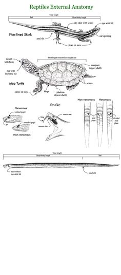 1000+ images about reptiles anatomy on Pinterest ...