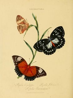 Vintage Illustration Art, Butterfly Illustration, Botanical Illustration, Nature Illustration, Sibylla Merian, Butterfly Painting, Butterfly Art, Natural History, Vintage Images