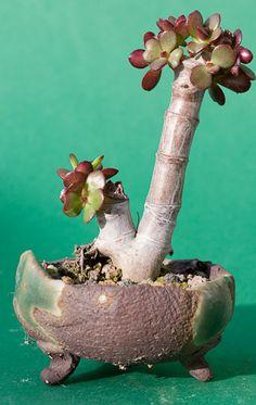 Crassula ovata minor - andere Seite