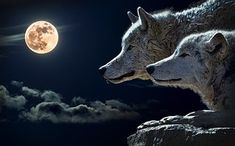The January full moon is most popularly known as the Full Wolf Moon. Other Tribes have other names, but they are all of a theme: the January full moon the Fantasy Poster, Two Wolves, Wolves Art, Poster Online, Fotografia Macro, Wolf Howling, White Wolf, Werewolf, Wiccan