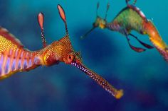 Sea dragons from Sydney