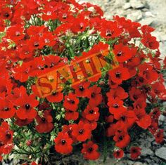 Check out the deal on Nemesia Fire King 500 seeds at Hazzard's Seeds Perennial Vegetables, Ornamental Grasses, Perennials, Seeds, Fire, Plants, African, Sun, Check