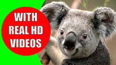 This educational video will teach your children the animals in Australia and the Australian animal sounds. The fauna of Australia consists of a large variety of animal species.  83% of the Australian mammals are native to Australia. This diversity makes it interesting for kids to learn about the Australian animals and their sounds.