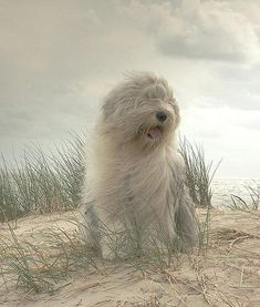 We had an Old English Sheep Dog growing up....she was this beautiful!!!  Her name was ziggy!!