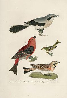 Alexander Wilson American Ornithology Bird Prints 1871