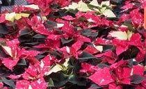 Jingle Bell Poinsettias from Cros-B-Crest Farm, Staunton, VA
