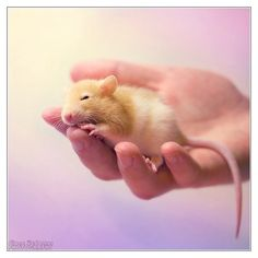 Cute Photographs Of Rats
